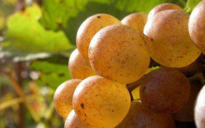 Fiches techniques : comment optimiser les arômes au vignoble et au chai ?